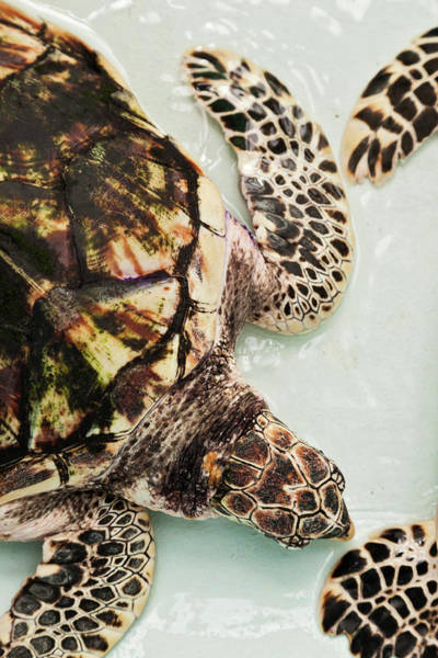 Body Parts Photograph - Elevated View Of Sea Turtle, Old Hegg by Panoramic Images