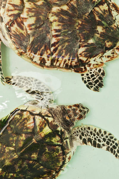 Body Parts Photograph - Elevated View Of Sea Turtles, Old Hegg by Panoramic Images