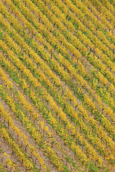 Wall Art - Photograph - Elevated View Of Vineyard In Autumn by Panoramic Images