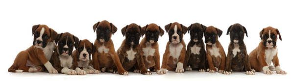 Wall Art - Photograph - Eleven Boxer Puppies, 6 Weeks Old by Mark Taylor