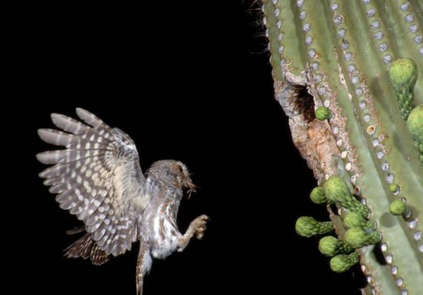 Wall Art - Photograph - Elf Owl Flying To Nest by Craig K. Lorenz