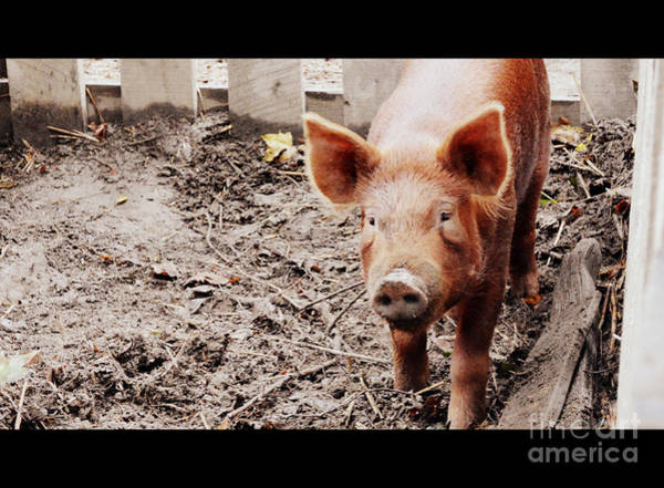 Pigpens Photograph - Elinore Of Lucerne by Karin Everhart