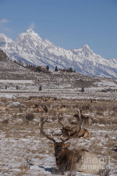 Wall Art - Photograph - Elk And The Grand Tetons by Juli Scalzi