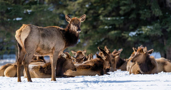 Wapiti Photograph - Elk Cervus Canadensis Or Wapiti On Snow by Animal Images