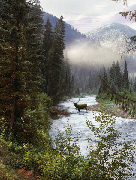 High Quality Photograph - Elk Crossing by Leland D Howard