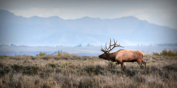 Photograph - Elk Crossing by Ryan Smith