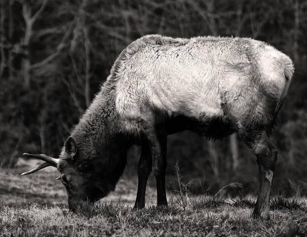 Photograph - Elk Grazing by Chris Flees