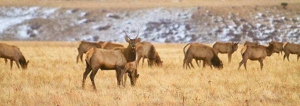 Wall Art - Photograph - Elk Herd Colorado Foothills Plains Panorama by James BO Insogna