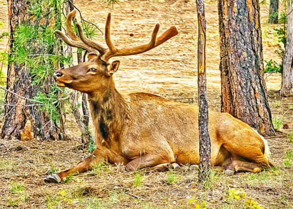Photograph - Elk In Kiabab National Forest Arizona by Bob and Nadine Johnston