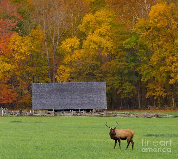 Nantahala Photograph - Elk In The Meadow by Bridget Calip