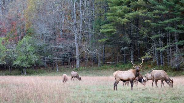 Photograph - Elk Of Cataloochee by Carol Montoya