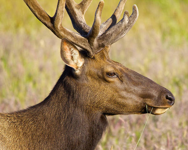 Photograph - Elk Profile by Todd Kreuter