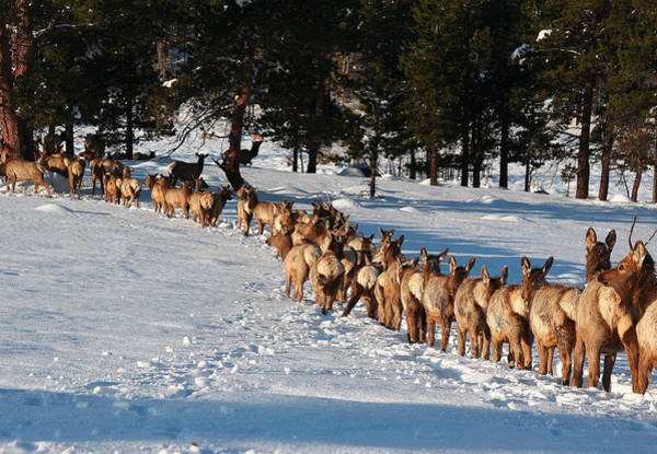 Wall Art - Photograph - Elk Train by Steven Reed