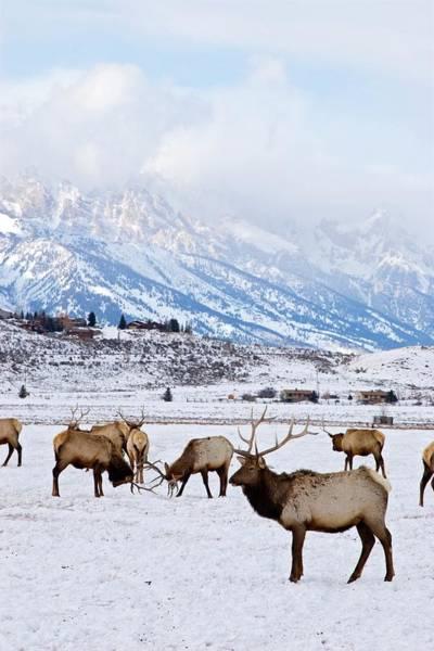 Wapiti Photograph - Elks In Winter by Jim West