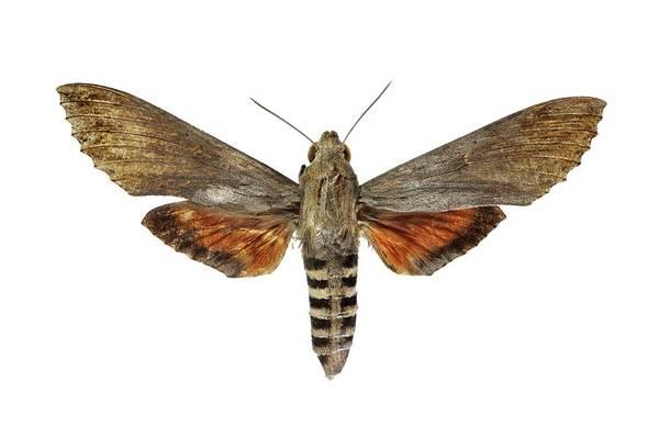 Metamorphosis Photograph - Ello Sphinx Moth by F. Martinez Clavel