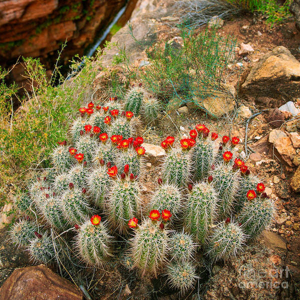 Photograph - Elves Chasm Cacti by Inge Johnsson