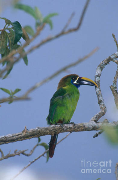 Ramphastidae Photograph - Emerald Toucanet by Gregory G. Dimijian, M.D.