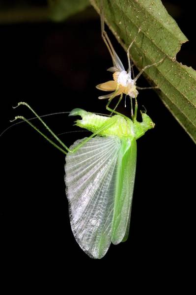 Imago Photograph - Emerging Adult Katydid by Dr Morley Read/science Photo Library