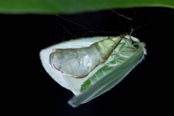 Pupa Photograph - Emerging Adult Moth by Melvyn Yeo