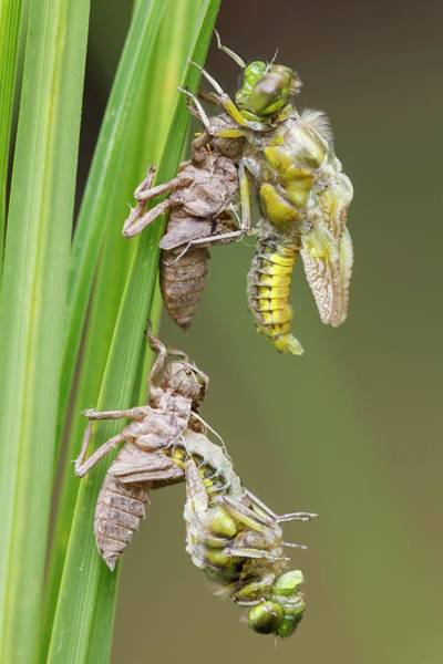 Odonata Photograph - Emerging Chaser Dragonflies by Heath Mcdonald