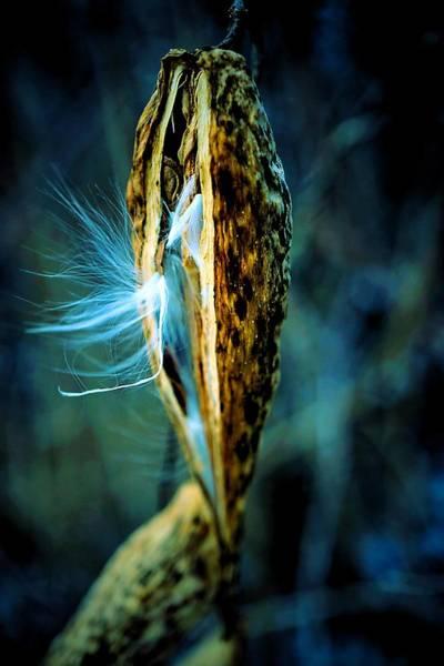 Photograph - Emerging Milkweed Seeds In Blue by Beth Akerman