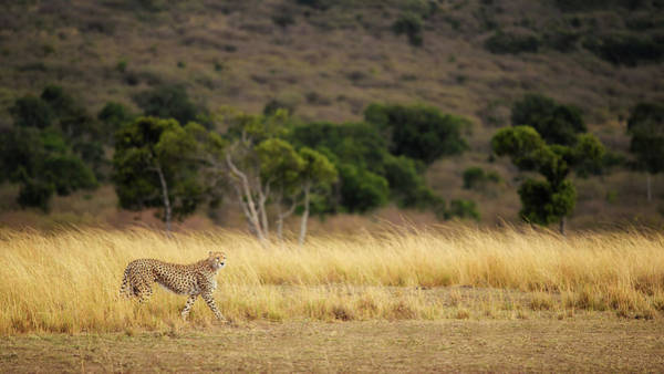 Feline Photograph - Emerging Runner by Mohammed Alnaser