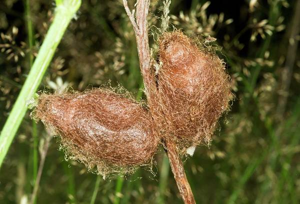 Pupa Photograph - Emperor Moth Cocoons by Bob Gibbons