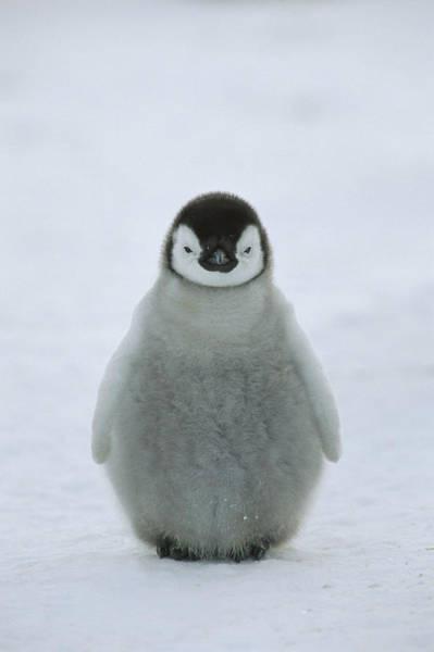 Photograph - Emperor Penguin Chick Portrait by Konrad Wothe