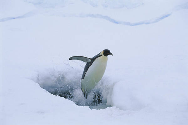 Photograph - Emperor Penguin Leaping Through Ice by Pete Oxford