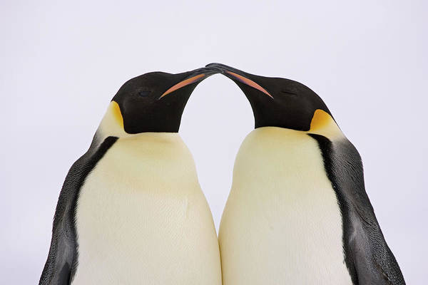 Photograph - Emperor Penguin Pair Courting by Ingo Arndt