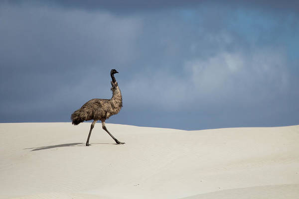 Emu Photograph - Emu In Sand Dunes by John White Photos
