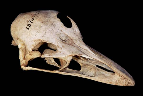 Emu Photograph - Emu Skull by Pascal Goetgheluck/science Photo Library