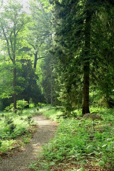 Coniferous Tree Photograph - Enchanted Wood by Rachel Warne/science Photo Library