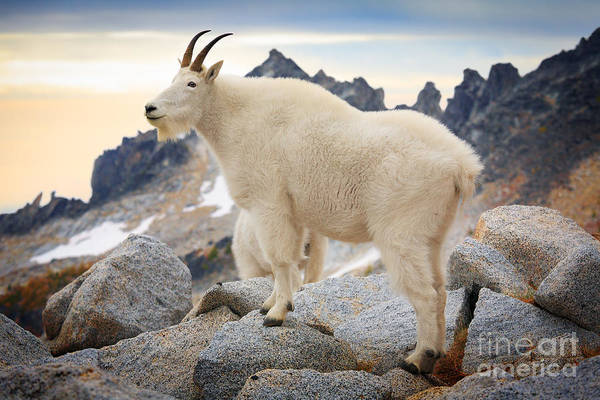 Goat Rocks Wilderness Wall Art - Photograph - Enchantment Goat by Inge Johnsson