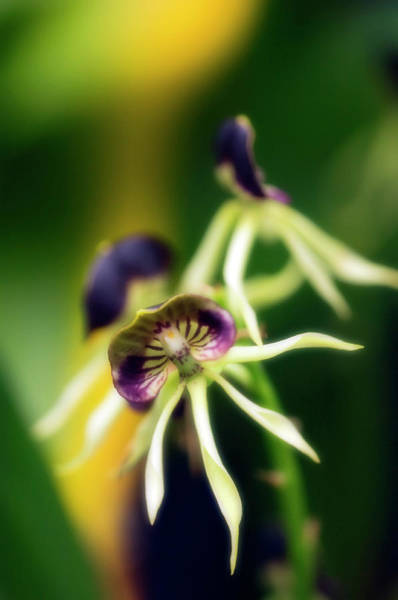 Cockle Wall Art - Photograph - Encyclia Cochleata 'hanalei' Orchid by Maria Mosolova/science Photo Library