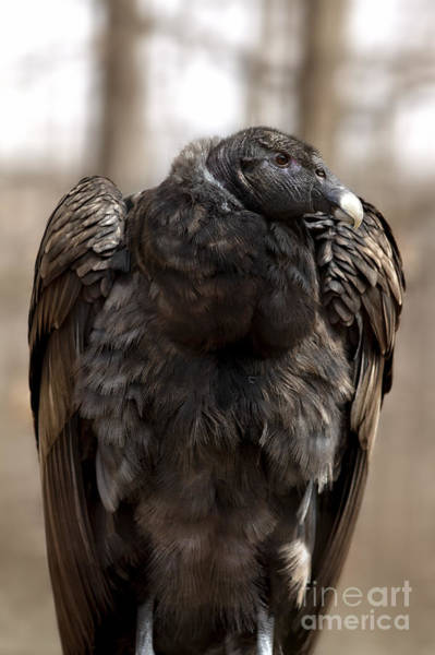 Endangered Andean Condor Art Print