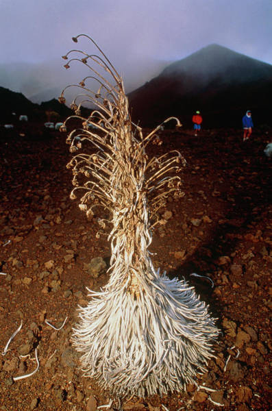 Haleakala Crater Photograph - Endangered Silversword Plant by Peter Menzel/science Photo Library