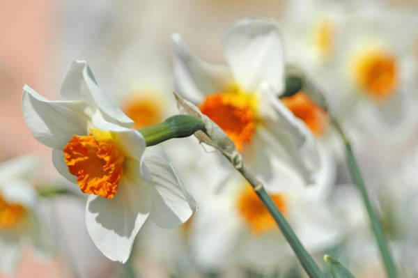 Photograph - Endless Daffodils by Lara Ellis
