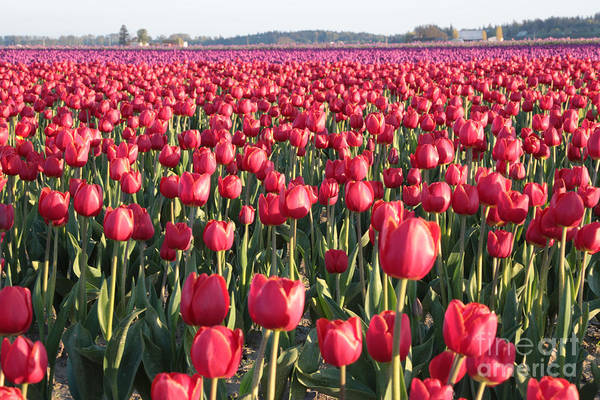 Photograph - Endless Red Tulips by Carol Groenen