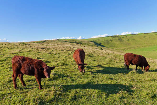 Grazing Photograph - England, Cows Grazing On Pasture At by Westend61