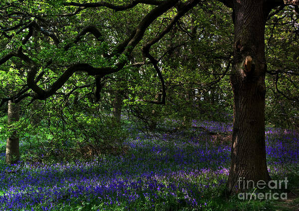 Photograph - English Bluebell Wood by Martyn Arnold