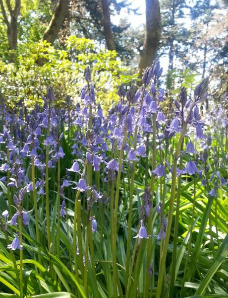 Photograph - English Bluebells by Nikki Dalton