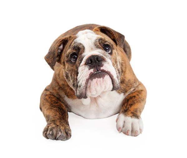 Big Dog Photograph - English Bulldog Laying Looking Up by Susan Schmitz