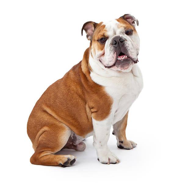 Dog Training Photograph - English Bulldog Sitting  by Susan Schmitz