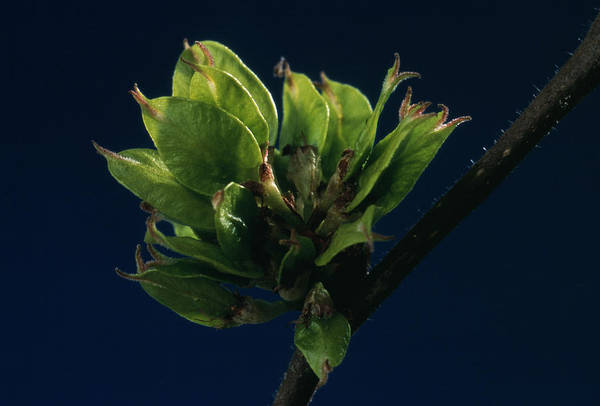 Elm Tree Photograph - English Elm Leaves by Th Foto-werbung/science Photo Library