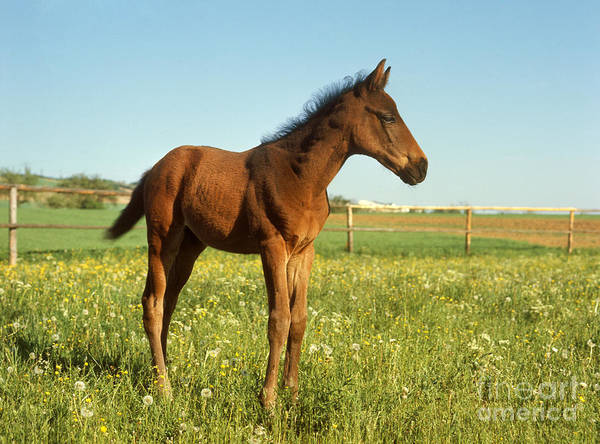 Photograph - English Fullblood Foal by St Meyers Okapia