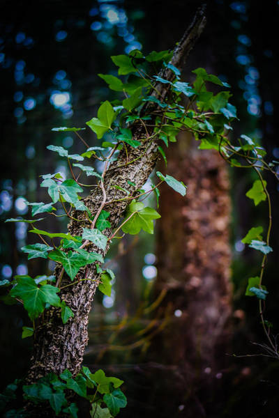 Photograph - English Ivy  by Carrie Cole
