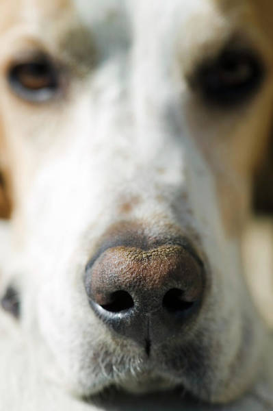 Canis Lupus Photograph - English Pointer Dog by Gustoimages/science Photo Library