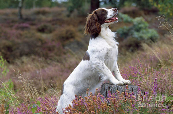 Springer Spaniel Photograph - English Springer Spaniel Dog by John Daniels
