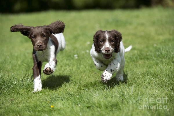 Springer Spaniel Photograph - English Springer Spaniel Puppies by John Daniels